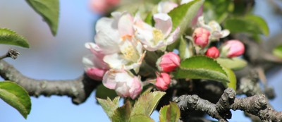 apple flowers and buds