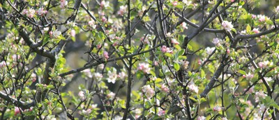 apple trees blooming