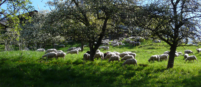 apple trees surrounded by sheeps