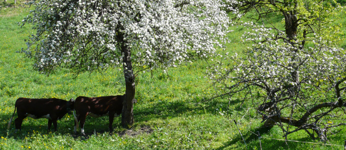 blossom and cows
