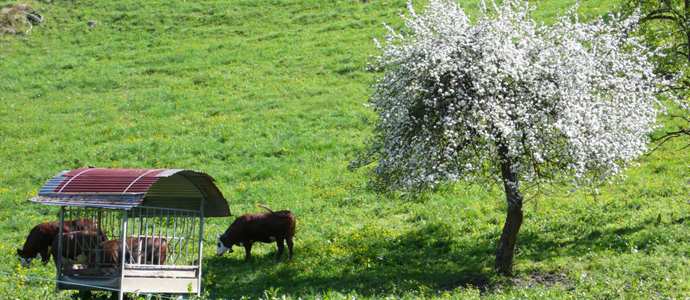 white apple tree with cows